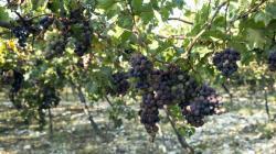 Grape Fair